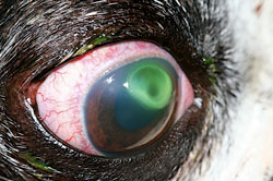 How To Portect Cat Eye After Corneal Ulcer