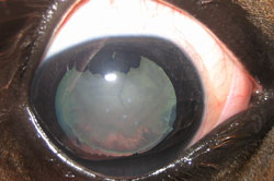 equine_cataract