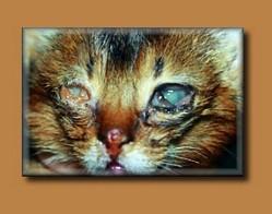 felineherpes