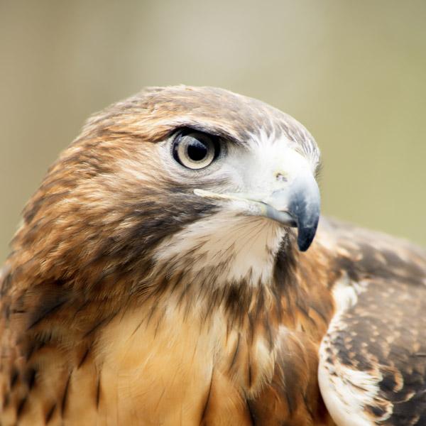 hawk-big