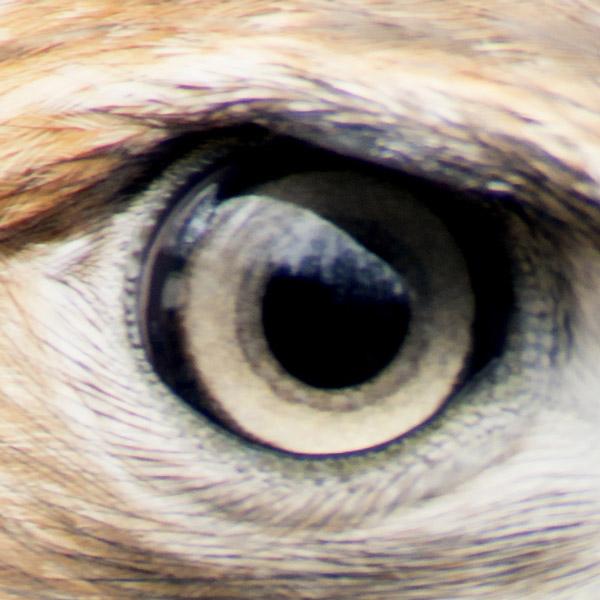 hawk-small
