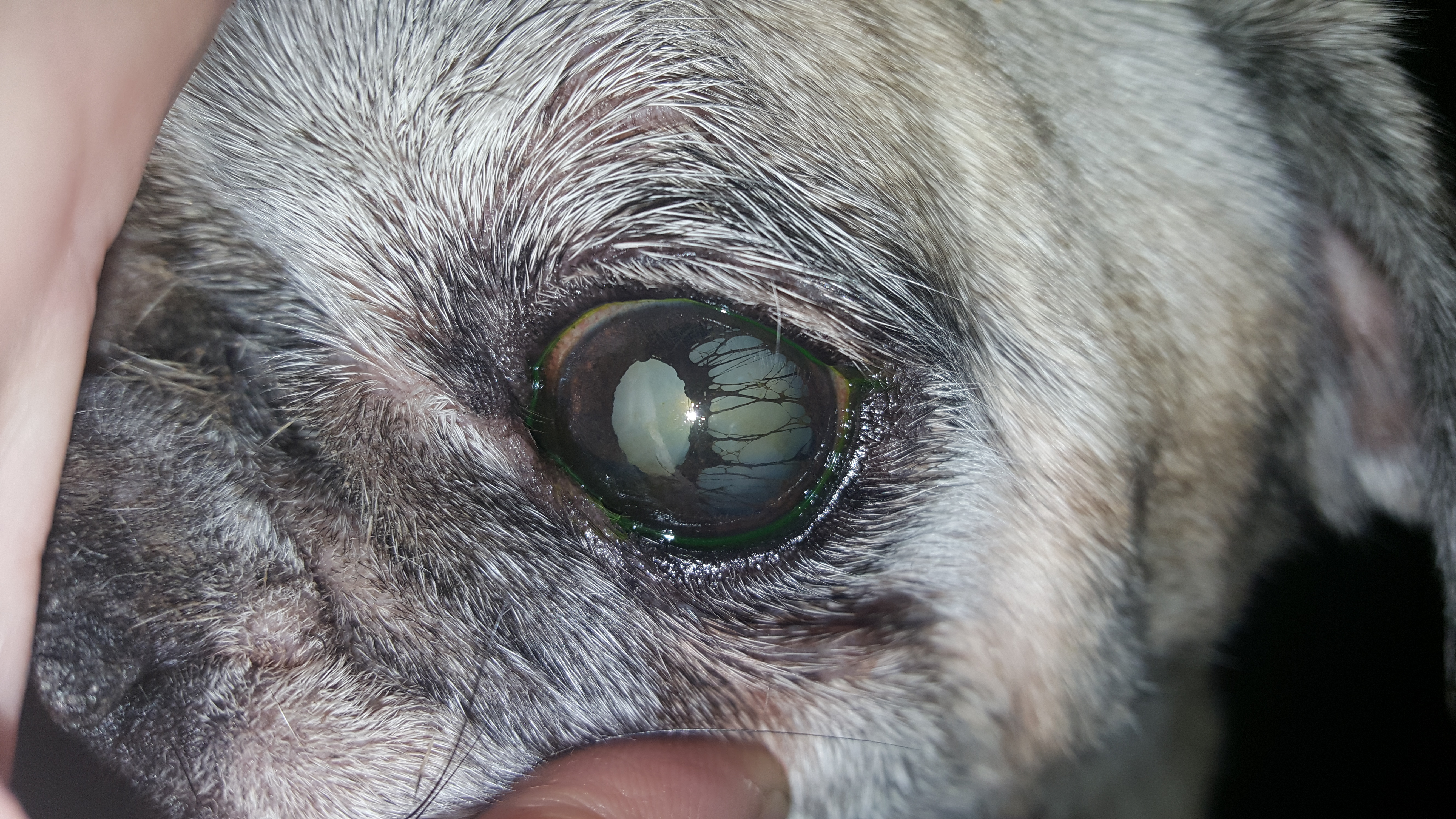 Conditions Archive - Eye Care for Animals - Eye Care for Animals